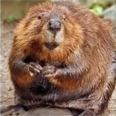 Get rid of beavers with Creature Control