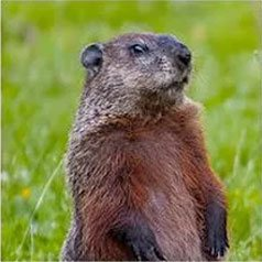 Get rid of groundhogs with Creature Control