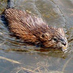 Get rid of mink and muskrats with Creature Control