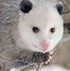 Get rid of opossums with Creature Control