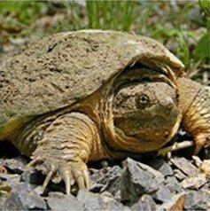 Get rid of Snapping Turtles with Creature Control