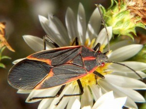 Boxelder Bug Removal with Creature Control