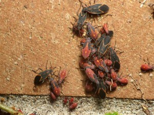 Get Rid of Box Elder Bugs with Creature Control