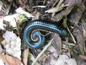 Millipedes Removal with Creature Control