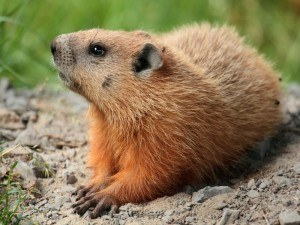 Groundhog Removal with Creature Control