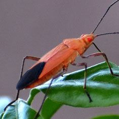 Get rid of Boxelder bugs with Creature Control
