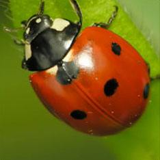 Get rid of Asian Lady Beetles & Ladybugs with Creature Control