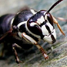 Get rid of Hornets, Wasps, Yellowjackets with Creature Control