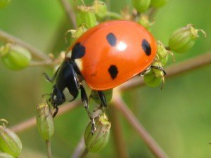 Ladybug Removal with Creature Control