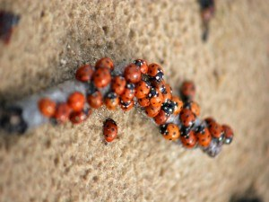 Asian Lady Beetle Removal with Creature Control