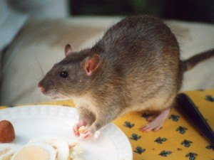 Get Rid of Rats with Creature Control