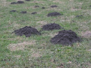 Moles in Yard Removal with Creature Control