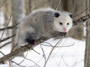 Opossum Removal with Creature Control