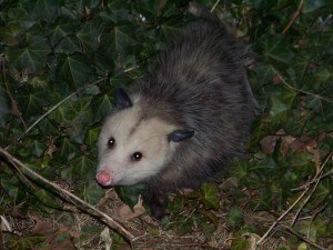 Possum Removal with Creature Control