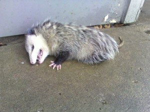How to Get Rid of Possums with Creature Control