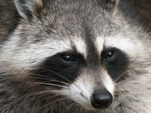 Raccoon Removal with Creature Control
