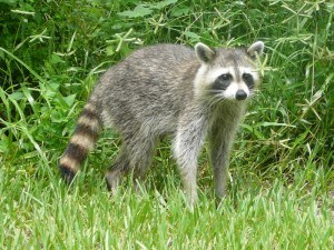Racoon Relocation with Creature Control