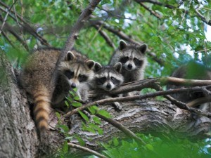 Get Rid of Raccoons with Creature Control