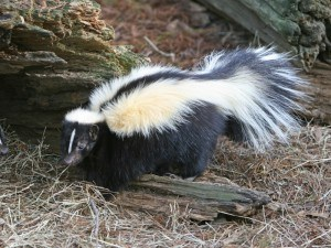 Skunk Removal with Creature Control