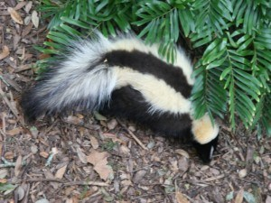 Get Rid of Skunks with Creature Control