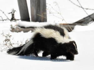 Remove Skunks with Creature Control