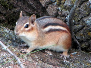 Get Rid of Chipmunks with Creature Control