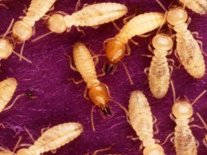Termite Removal with Creature Control