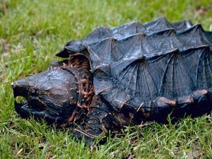 Snapping Turtle Removal with Creature Control