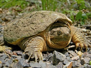 Trapping Snapping Turtles with Creature Control