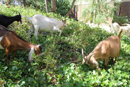 Controlling Invasive Plants with Goats