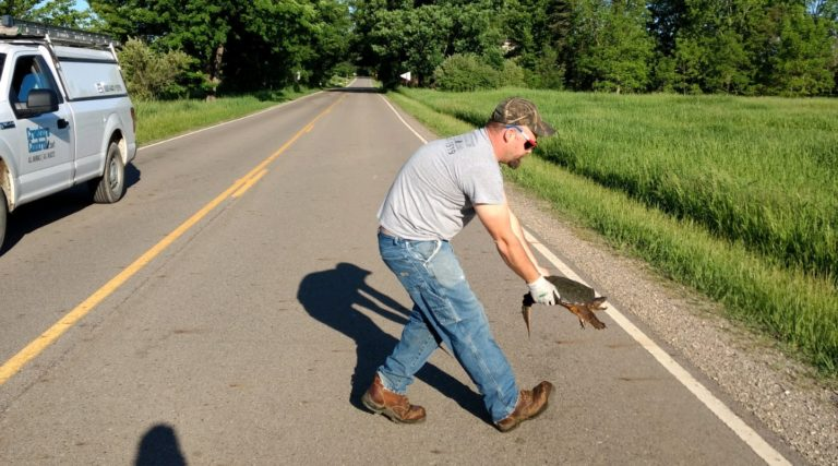 The Proper Way to Help A Turtle Across the Road