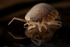 The History of Bed Bugs